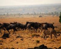 Gepard 2 lizenzfreie stockfotos