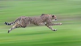 gepard Zdjęcie Royalty Free
