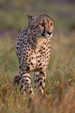 Gepard stockfotos