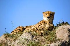 Gepard zdjęcia stock