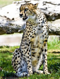 gepard Obrazy Royalty Free