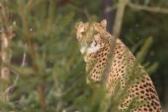 Gepard Imagem de Stock