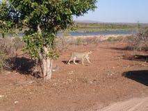 Gepard! Arkivfoto