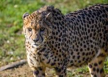 Gepard royalty-vrije stock foto's