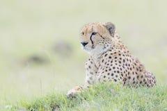 Gepard Acinonix-jubatus, das sich auf Hügel hinlegt Stockfotografie