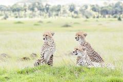 Gepard Acinonix-jubatus, das sich auf Hügel hinlegt Stockfoto