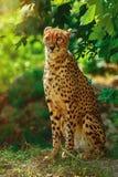 Gepard Acinonyx jubatus Stockfotografie