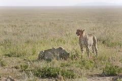 Gepard (Acinonyx jubatus) Lizenzfreies Stockbild