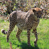 Gepard (Acinonyx jubatus) Stockfotografie