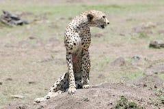 Gepard (Acinonyx jubatus) Lizenzfreie Stockfotos