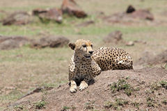 Gepard (Acinonyx jubatus) Lizenzfreie Stockfotografie