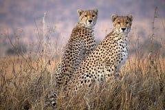 Gepard (Acinonyx jubatus) Lizenzfreies Stockfoto