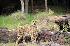 Gepard (Acinonyx jubatus). Zdjęcie Royalty Free
