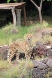 Gepard (Acinonyx jubatus). Zdjęcia Stock