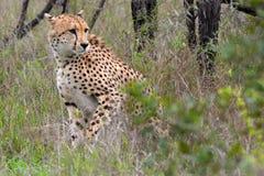 Gepard (Acinonyx jubatus) Zdjęcia Stock