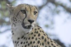 Gepard (Acinonyx jubatus) Obrazy Stock