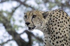 Gepard (Acinonyx jubatus) Obrazy Royalty Free