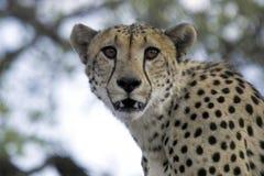 Gepard (Acinonyx jubatus) Zdjęcie Royalty Free