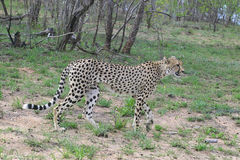 Gepard (Acinonyx jubatus) Obraz Royalty Free