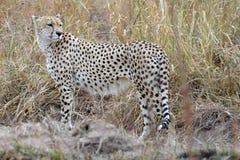 Gepard (Acinonyx jubatus) Fotografia Royalty Free
