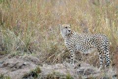 Gepard (Acinonyx jubatus) Zdjęcia Royalty Free