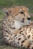 Gepard (Acinonyx jubatus) Zdjęcie Stock