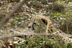 Gepard (Acinonyx jubatus) Stockfoto
