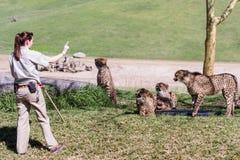 Gepard - Acinonyx jubatus Obrazy Royalty Free