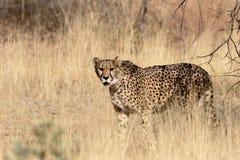 Gepard, Acinonyx jubatus Zdjęcie Stock