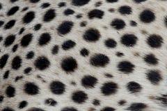 Gepard, Acinonyx jubatus Obraz Royalty Free