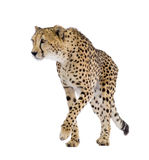 Gepard - Acinonyx jubatus Stockfotos