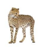 Gepard - Acinonyx jubatus Stockfotografie