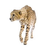 Gepard - Acinonyx jubatus Lizenzfreies Stockfoto