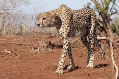 Gepard, Acinonyx jubatus Fotografia Stock