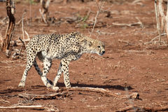 Gepard, Acinonyx jubatus Obrazy Stock