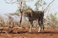 Gepard, Acinonyx jubatus Fotografia Royalty Free