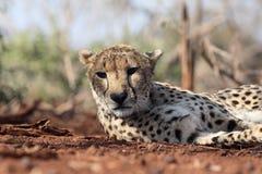 Gepard, Acinonyx jubatus Obrazy Royalty Free