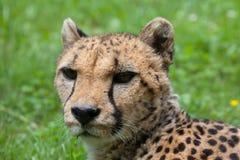 Gepard Acinonyx jubatus Lizenzfreies Stockbild