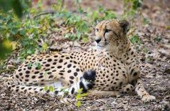 Gepard Acinonyx jubatus Stockbild