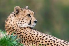 Gepard - Acinonyx jubatus Lizenzfreies Stockbild