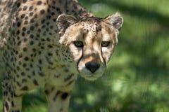 Gepard Acinonyx jubatus Stockfoto
