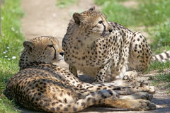 Gepard Acinonyx jubatus Lizenzfreies Stockfoto