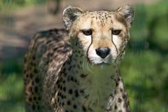Gepard Acinonyx jubatus Lizenzfreie Stockbilder