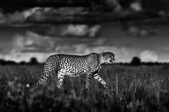 Gepard, Acinonyx jubatus, chodzi dzikiego kota Szybki ssak na ziemi, Botswana, Afryka Gepard w trawie, ciemny niebo z chmurami Zdjęcia Stock