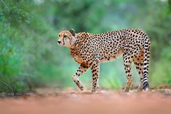 Gepard, Acinonyx jubatus, chodzi dzikiego kota Szybki ssak na ziemi, Botswana, Afryka Gepard na żwir drodze w lasowym punkcie, Zdjęcia Royalty Free