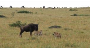 Gepard, acinonyx jubatus, dorosli tropi Wildebest, Masai Mara park w Kenja, zbiory