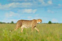 Gepard, Acinonyx jubatus, gehende Wildkatze, schnellstes Säugetier auf Land, Botswana, Afrika Gepard im Gras, blauer Himmel mit W stockfotografie