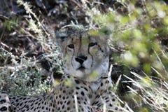 Gepard (Acinonyx jubatus) liegend im Gras, Lizenzfreies Stockbild