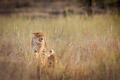 Gepard (Acinonyx jubatus) mit Jungem im Busch Lizenzfreies Stockfoto