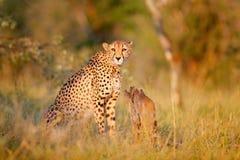 Gepard, Acinonyx jubatus, piękny dziki kot Szybki ssak na ziemi, Botswana, Afryka Gepard chujący w lesie Dostrzegającym Obrazy Royalty Free